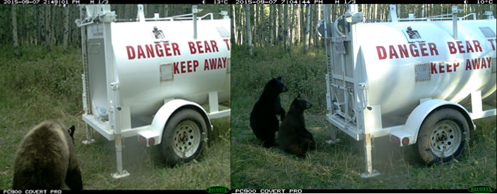Bear 12 enters the trap & cubs want in with mom!
